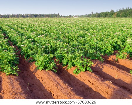 An early morning view of a potato farm in rural Prince Edward Island, Canada with rows of potatoes in full flower. - stock photo