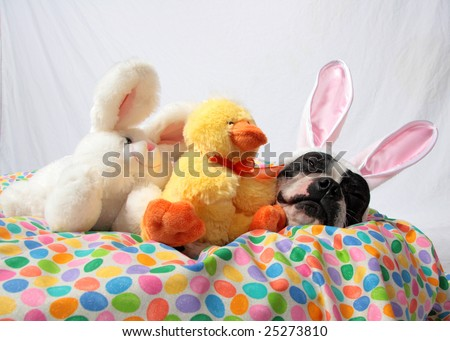 An Easter photo of a Boston Terrier with bunny and chick stuffed animals. - stock photo