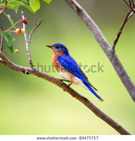 An Eastern Bluebird perched on a tree limb with a green background. - stock photo