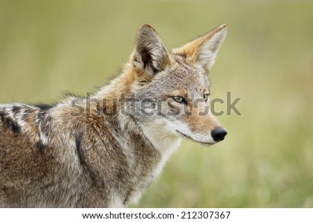 An eastern coyote head shot. - stock photo