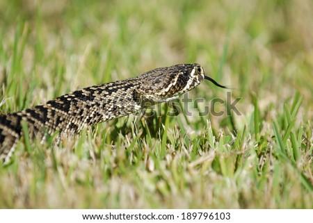 An eastern diamond back rattlesnake crawling through the Florida Everglades. - stock photo