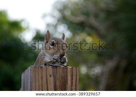 An Eastern grey squirrel is perched behind a fence post which makes it appear it is sitting at a table covered with sunflower seeds and has hands up to mouth eating. - stock photo