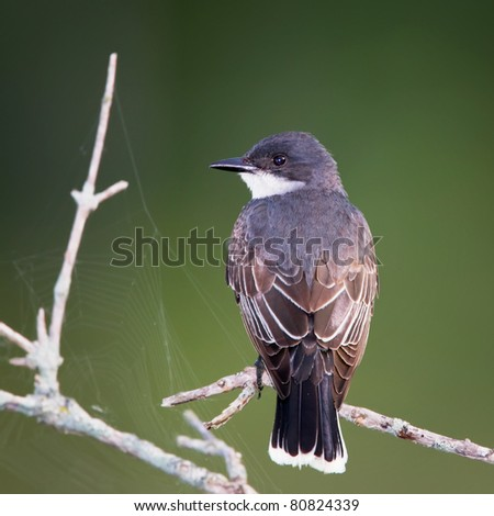 An Eastern Kingbird perched on a branch with a dark green background and nearby spider webs. - stock photo