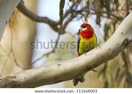 An Eastern Rosella (Platycercus Eximius) in a gum tree in Echuca, Victoria, Australia - stock photo