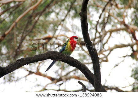 An Eastern Rosella (Platycercus Eximius) in Tasmania, Australia - stock photo