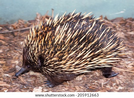 an echidna like a small porcupine very cute and they waddle when walking - stock photo