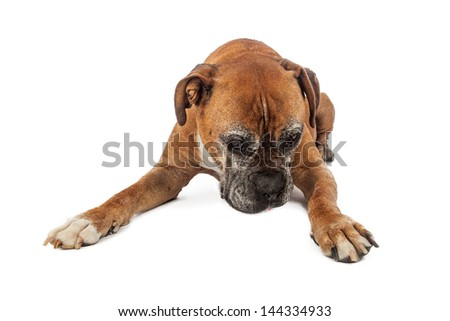 An elderly Boxer dog laying and looking down where a pet product can be placed - stock photo