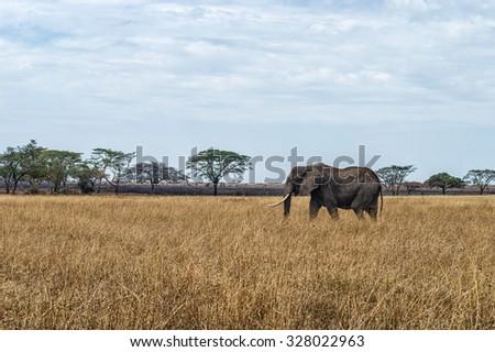 An Elephant at Ngorongoro Crater Conservation Area, Tanzania - stock photo