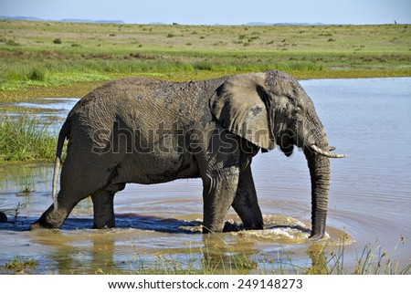 An elephant bull wades into a water hole in a game reserve in South Africa. - stock photo