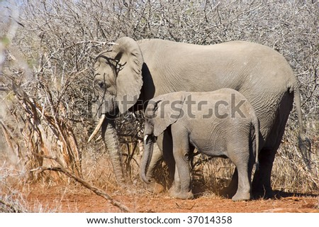 An Elephant family traveling along through the Kruger National Park in South Africa. - stock photo