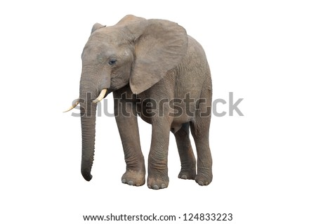 An Elephant from Addo Elephant National Park isolated on white - stock photo