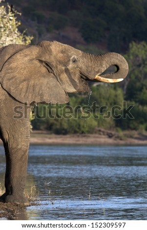 An Elephant (Loxodonta africana) having a drink in the late afternoon sun on the banks of the Chobe River in Chobe National Park in Northern Botswana. - stock photo