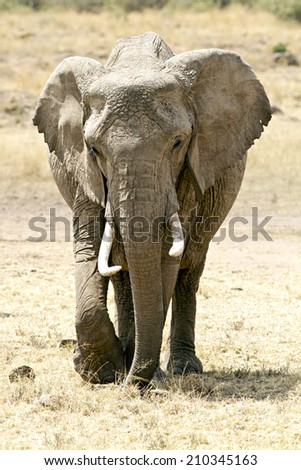 An Elephant (Loxodonta) on the Maasai Mara National Reserve safari in southwestern Kenya. - stock photo