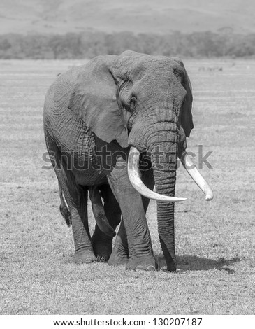 An elephant male in Crater Ngorongoro National Park - Tanzania (black and white) - stock photo