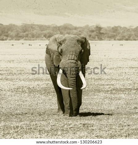 An elephant male in Crater Ngorongoro National Park - Tanzania (stylized retro) - stock photo