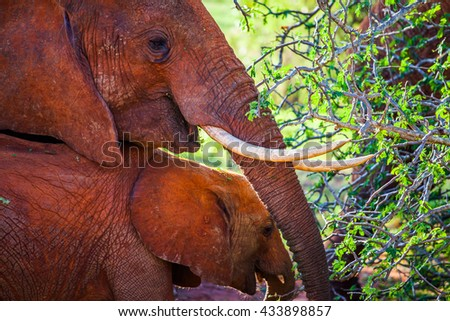 An elephant mom with her baby covered in red dust - stock photo