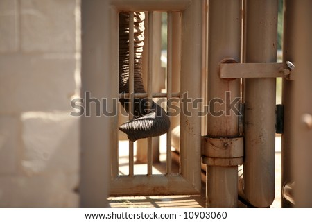 an elephant sticks his trunk through a cage to find out whats on the other side - stock photo