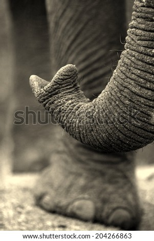 An elephant tests the air with his trunk as he smells. - stock photo