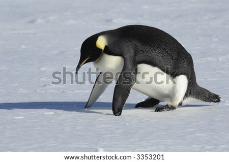 An emperor penguin seems to do some fitness excercise. Picture was taken near the tip of the Peninsula during a 3-month Antarctic research expedition. - stock photo