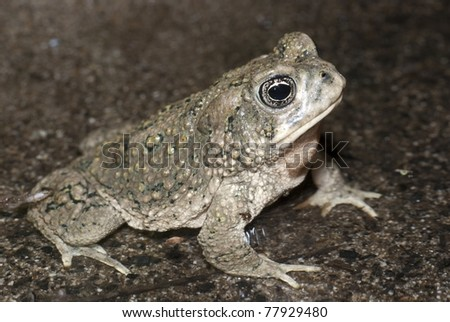 An endangered Arroyo Toad in Southern California. - stock photo