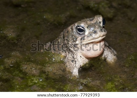 An endangered male Arroyo Toad calling in Southern California. - stock photo