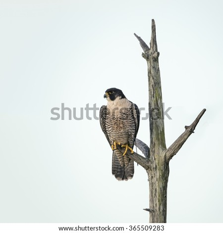 An endangered Peregrine Falcon (Falco peregrinus) perched in a dead tree - Melbourne, Florida - stock photo
