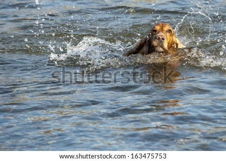 An english brown cocker spaniel running to you in the river water background - stock photo
