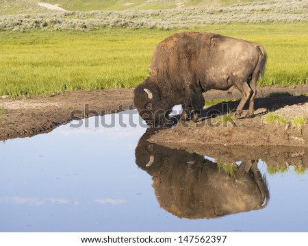 An enormous bison drinks from clear blue waters and shows his reflection. - stock photo