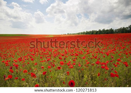 An entire fields of wonderful red poppies - stock photo