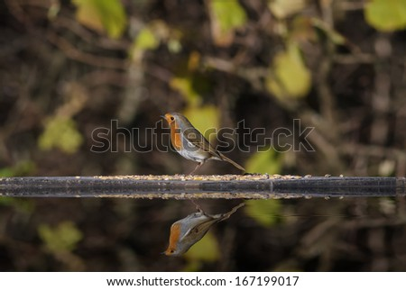 An European Robin on a Feeding Table with Reflection - stock photo