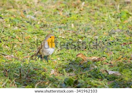 An European Robin on the Grass - stock photo