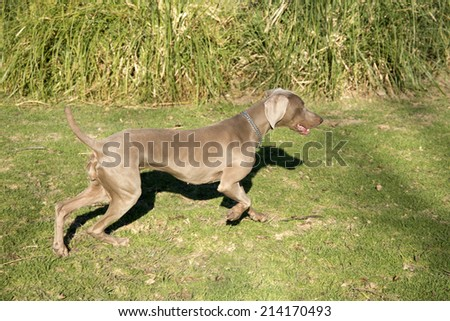 An excited dog, running and searching for something, purebred hunting female Weimaraner, also known as silvery-gray, gray ghost or silver ghost. - stock photo
