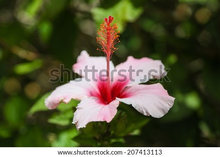 An Hibiscus flower in close up with white and pink color in front of a blurry green background - stock photo