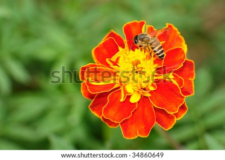 An hungry bee eating honey from a flower - stock photo