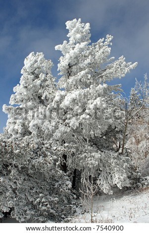 An ice and snow covered tree marks the side of the trail across the top of the Sandia Mountains just after the first snow of winter. - stock photo