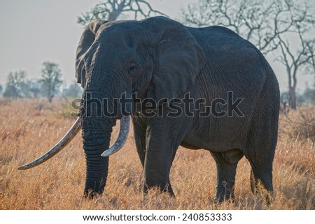An iconic elephant taken into the sun  - stock photo