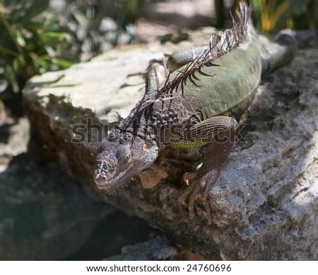 An Iguana (Iguanidae) sunbathing on a rock in its natural habitat. - stock photo