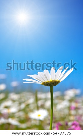 An image of a beautiful marguerite - stock photo