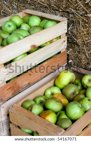 An image of a crop of green apples - stock photo