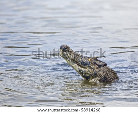 An image of a salt water crocodile in Australia - stock photo