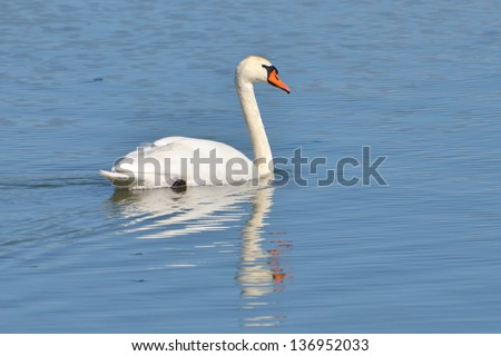 An image of a white swan at the lake (Cygnus olor) - stock photo