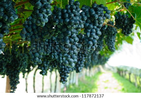 An image of fresh purple grapes in a vineyard - stock photo