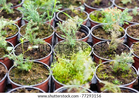 An image of hothouse seedlings in small pots - stock photo