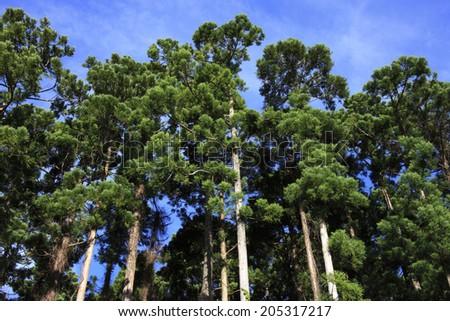 An Image of Japanese Cedar - stock photo