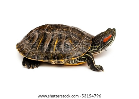 An image of Red Eared Turtle on white background - stock photo
