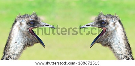 an image of two ostriches yelling to each other - stock photo