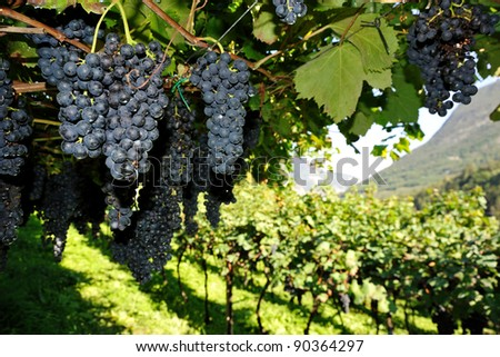 An image of vineyard with fresh blue grapes - stock photo