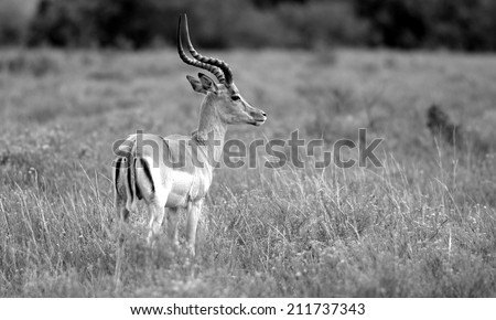 An impala ram in this black and white image. - stock photo