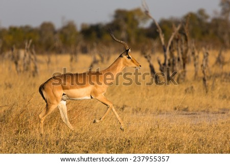 An impala ram picking up speed - stock photo