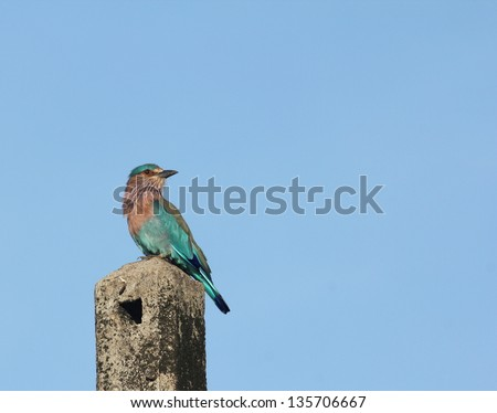 An Indian Roller on top of a light-post looking back with his left profile towards the camera, against a background of sky - stock photo